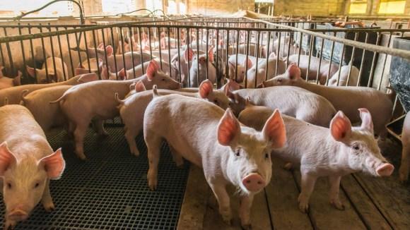 Reconocen a Brasil como país libre de aftosa con vacunación, con ello exportaría este año 1.38 millones de T de carne porcina