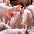 Nuevas tendencias en porcicultura ¿Qué nos espera?