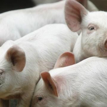 Los Aceites Esenciales (AE) como aditivos alimenticios en los porcinos