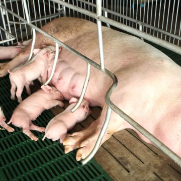 Conozca qué es la Propuesta 12 y su impacto en la porcicultura de EEUU