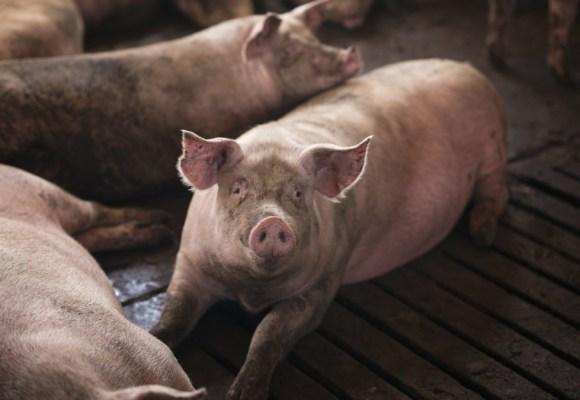 Detectan primeros casos de PPA en cerdos de Alemania