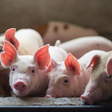 Caso clínico: Edema de mesocolon en lechones de maternidad en una granja semi tecnificada