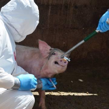 República Dominicana: sacrifican más de tres millones de kilos de carne de cerdo por Peste Porcina Africana