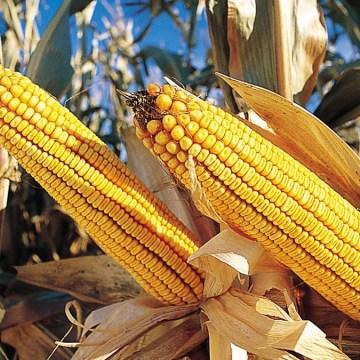 El maíz continúa en tendencia al alza por fenómeno climático La Niña