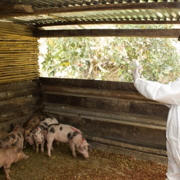 Amazonas: vacunaron a más de 18 mil cerdos para prevenir la PPC