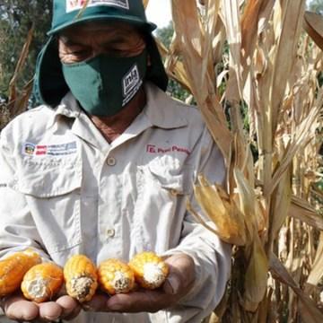 INIA desarrolla nueva variedad de maíz que beneficiará a la porcicultura