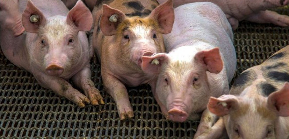República Dominicana: más de 48 mil cerdos sacrificados por PPA