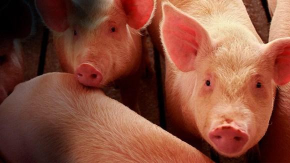 Enfermedades de los cerdos
