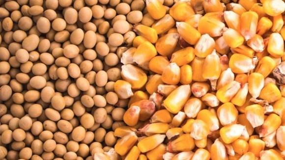 Precios de la soja y el maíz descienden