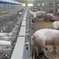 Realizarán webinar «Producción Porcina Sostenible – Experiencia Danesa»