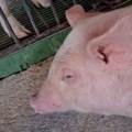 Caso clínico: Listeriosis en cerdos