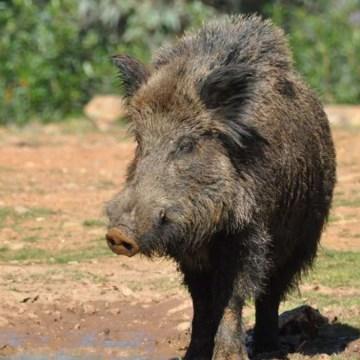 PPA Alemania: pagan 150 euros por jabalí cazado en zonas de restricción