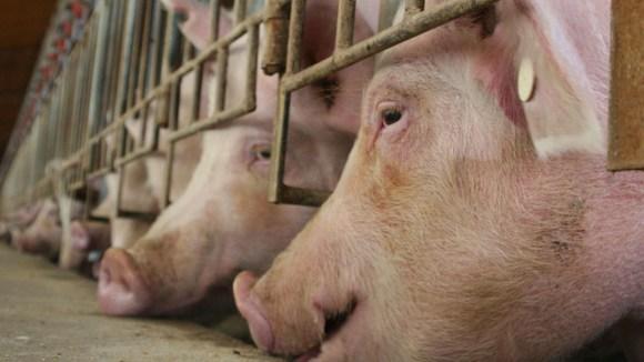 Granjas británicas sacrificarán miles de cerdos sanos por crisis de mataderos